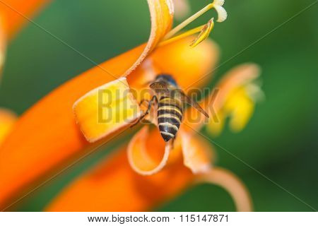 The Buttock Of Little Bee On Orange Flower
