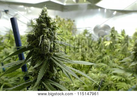 Big Marijuana Bud on Indoor Plant Under Lights at Cannabis Farm