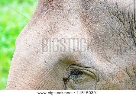 Close Up Of Elephant Head At The Zoo
