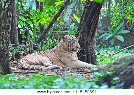 White Bengal Tiger Or Panthera Tigris Tigris From Family Of Felidae Resting