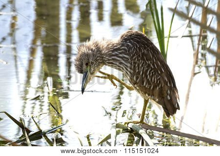 Juvenile Black-crowned Night Heron Scratching Its Head