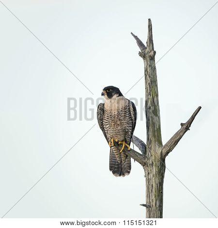 Peregrine Falcon Perched In A Dead Tree - Florida