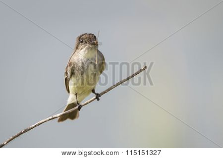 Eastern Phoebe With A Damselfly In Its Beak