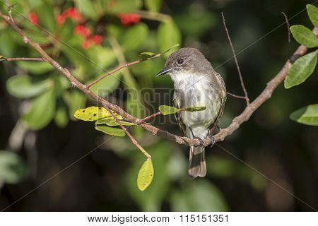 Eastern Phoebe Perched In A Brazilian Pepper Tree