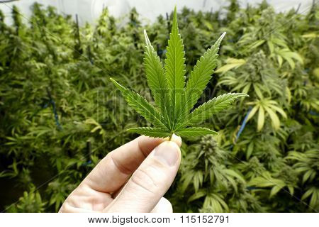 Hand Holding Small Marijuana Leaf with Indoor Cannabis Plants in Background