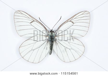 Black Veined White  Aporia Crataegi, Isolated On White