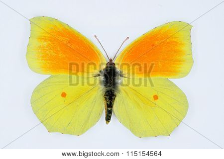 Cleopatra, Gonopteryx Cleopatra, Isolated On White