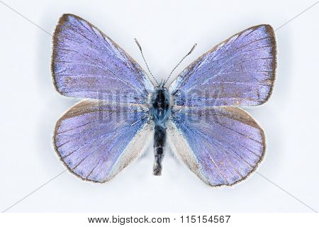 Iolas Blue; Iolana Iolas,  Isolated On White