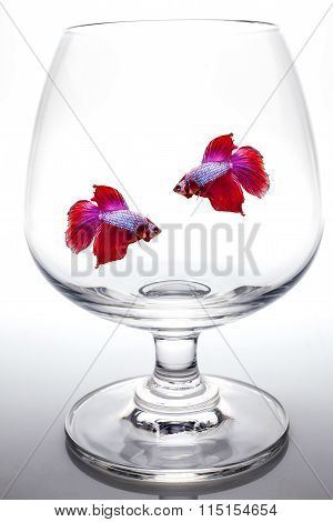 Red Siamese Fighting Fish In Wine Glass.