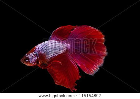 Red Siamese Fighting Fish On A Black Background.