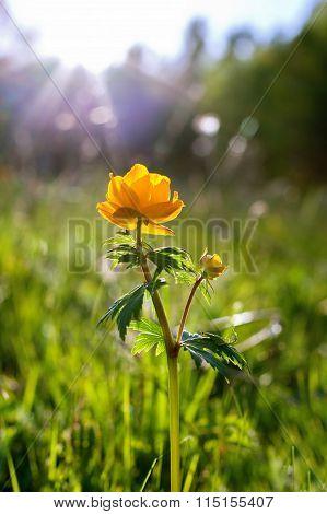Forest flowers in Siberia, Globeflower