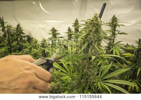 Clipping Indoor Marijuana Plant with Scissors