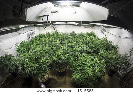 Garden of Marijuana Plants Under Lights of Indoor Grow Room