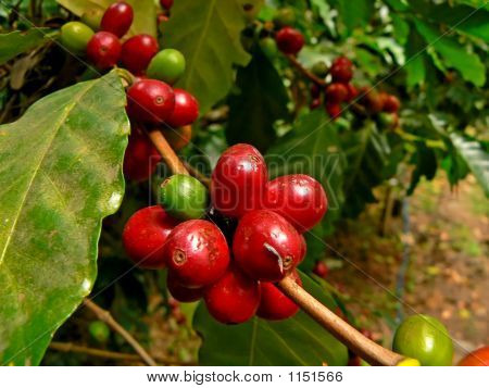 48Ripeningcoffee_Filtered