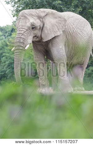 Calm African Elephant Resting At Bushy Land Background