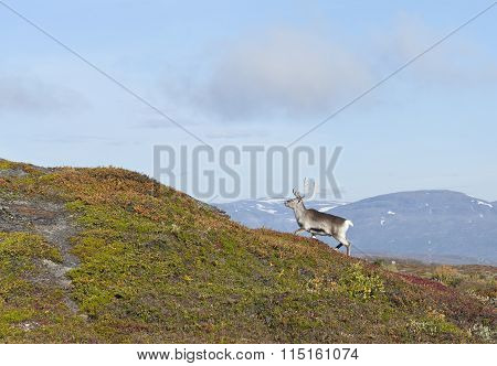 A reindeer on a mountain slope.
