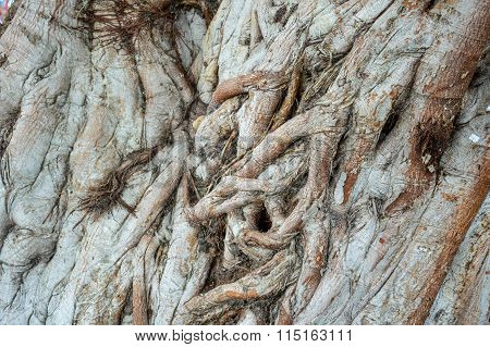 dry bark bodhi tree texture
