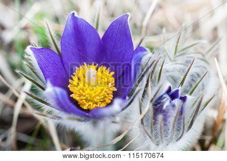 Beautiful Violet Crocuses, First Spring Flowers.