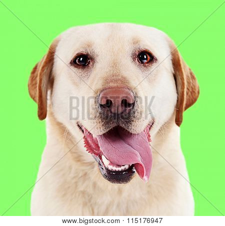 Cute labrador on green background