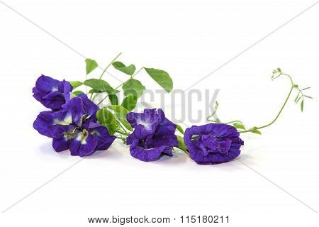 Vine Of Butterfly Pea On White Background, Herbal Medicine