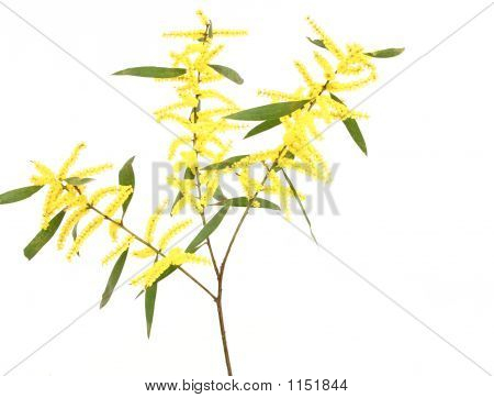 Sydney Golden Wattle