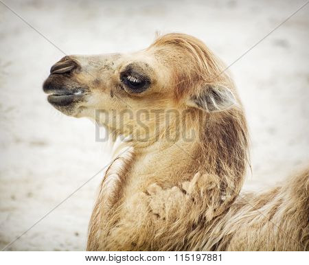 Portrait Of Young Bactrian Camel