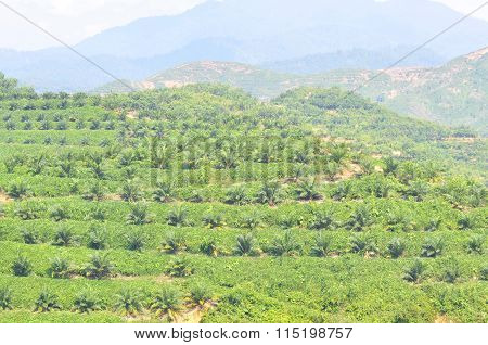 View Of Replanting Palm Oil Plantation At The Hill