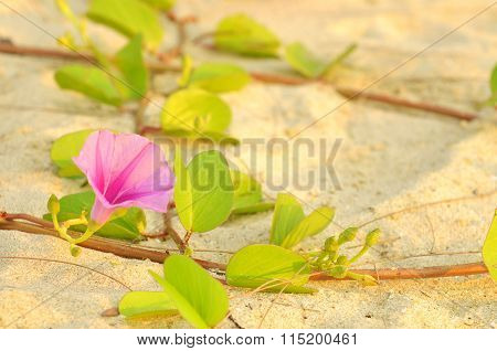 Bayhops, Beach Morning Glory Or Goat's Foot At The Beach