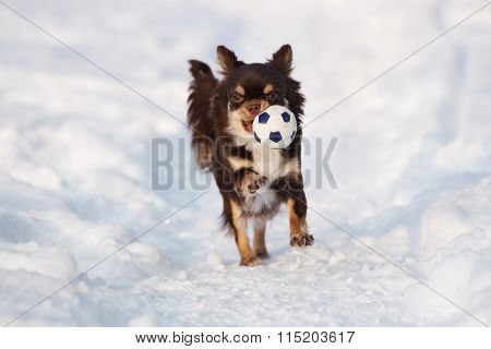 chihuahua dog running outdoors in winter