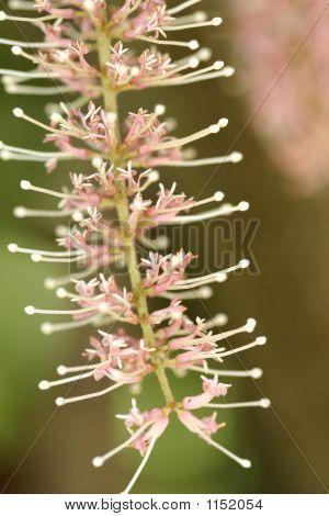 Macadamia Flower