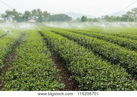 Tea farm in Tai Tung luye