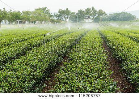 Tea farm in Taiwan