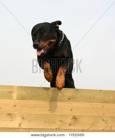 Rottweiler de salto