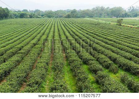Tea field in TaiTung