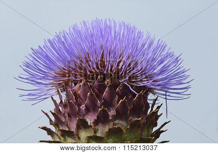 Purple Thistle Detail In Blue Sky