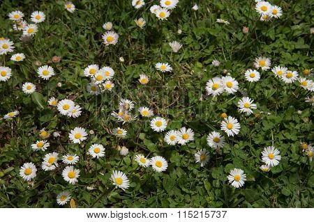 Daisy Meadow In Park On Sunny Day