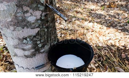 Rubber Latex Of Rubber Trees Into A Bowl