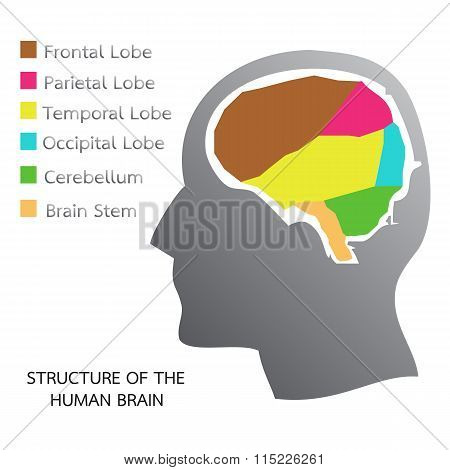 Structure Of The Human Brain