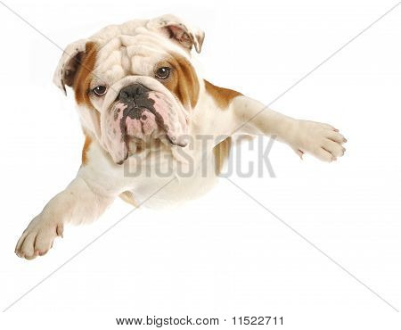 Dog Flying