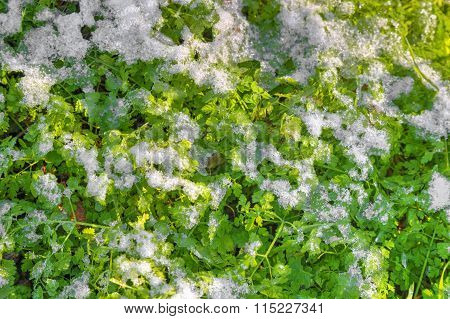 Snow and green flora background