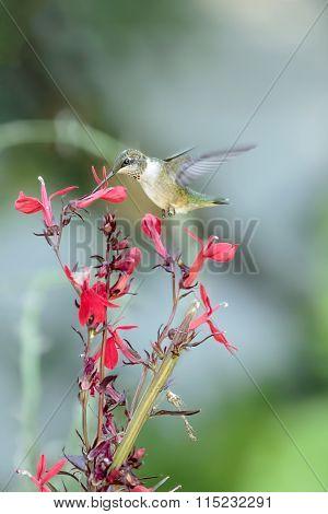 Hummingbird & Red Flower