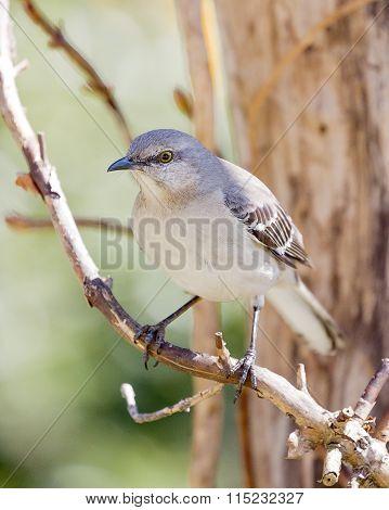 Mockingbird Perched On Vine
