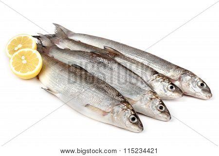 Freshwater Whitefish (coregonus Lavaretus)