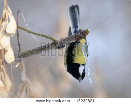 Upside Down Great Tit Near Maple Sap Icicle
