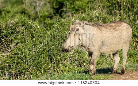 Wild boar at the Addo Elephant National Park in South Africa