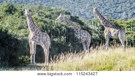 Giraffe near to the Elephant National Park in South Africa