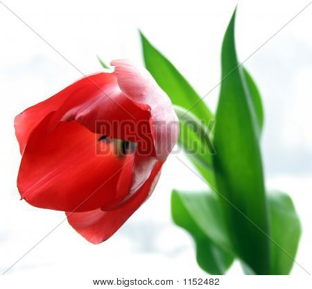 Red Single Tulip