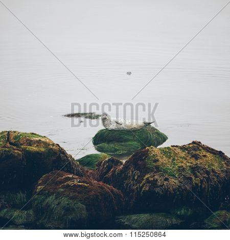 seal lying on the rock of beach, usa.