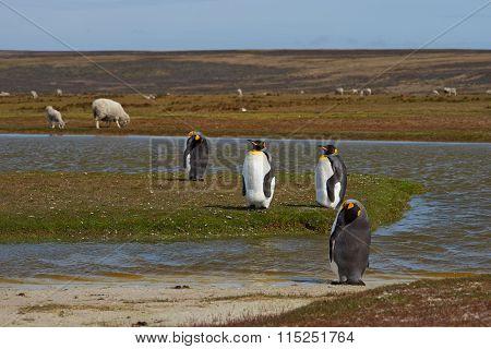 King Penguins on a Sheep Farm