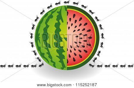 Ants around watermelon